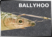 Fish Hooks Hold Balyhoo Bait