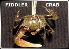Fish Hooks Hold Fiddler Crab Bait